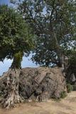 Albero del baobab, digitata di adansonia Immagini Stock