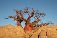 Albero del baobab nel Botswana fotografie stock libere da diritti