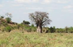 Albero del baobab nel Botswana Fotografie Stock