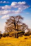 Albero del baobab in Tanzania Immagine Stock