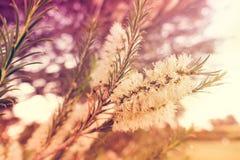 Albero del Bottlebrush del limone Fotografie Stock