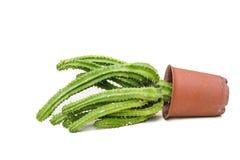 Albero del cactus Immagini Stock
