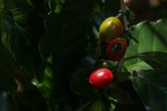 Albero del caffe arabica al giardino fotografia stock libera da diritti
