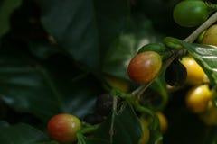 Albero del caffe arabica al giardino immagine stock libera da diritti