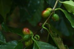Albero del caffe arabica al giardino fotografie stock libere da diritti