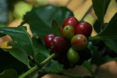 Albero del caffe arabica al giardino fotografie stock