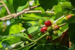 Albero del caffe arabica al giardino immagine stock