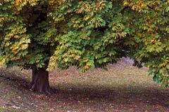 albero del cavallo della castagna Fotografia Stock