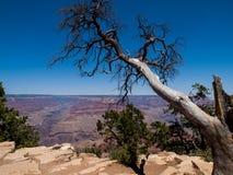 Albero del cedro al Grand Canyon Fotografia Stock