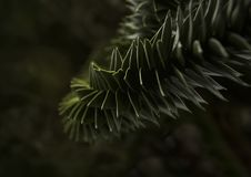 Albero del cercopiteco grigioverde immagini stock