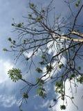 Albero del cielo Fotografia Stock Libera da Diritti