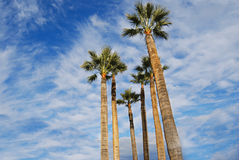 albero del cielo della palma della priorità bassa Immagine Stock