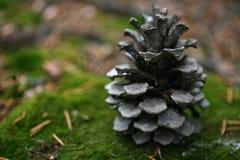Albero del cono del pino Fotografia Stock Libera da Diritti