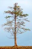Albero del Cottonwood Fotografia Stock Libera da Diritti
