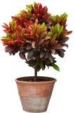 Albero del Croton in flowerpot Fotografia Stock Libera da Diritti