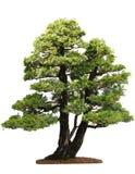 Albero del Cupressus Immagini Stock Libere da Diritti