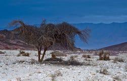 Albero del deserto Immagine Stock Libera da Diritti