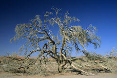 Albero del deserto di Namib Fotografie Stock Libere da Diritti