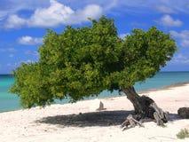 Albero del Divi-divi in Aruba Fotografie Stock