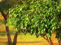 Albero del Ficus Immagini Stock