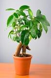 Albero del Ficus dei bonsai Fotografia Stock