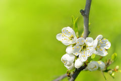 Albero del fiore fotografie stock libere da diritti