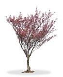 Albero del fiore di ciliegia Fotografia Stock Libera da Diritti