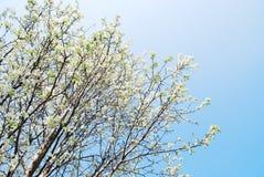 Albero del fiore di ciliegia Immagini Stock