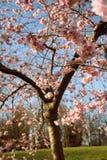 Albero del fiore di ciliegia fotografie stock