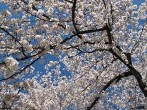 Albero del fiore di ciliegia di Kenwood fotografia stock libera da diritti