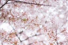 Albero del fiore di ciliegia in primavera Immagini Stock