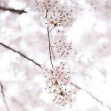 Albero del fiore di ciliegia in primavera Fotografia Stock Libera da Diritti