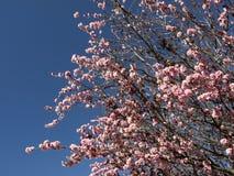 Albero del fiore di ciliegia nella primavera Fotografia Stock Libera da Diritti