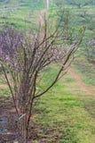 Albero del fiore di ciliegia sulla collina Fotografia Stock Libera da Diritti