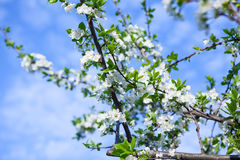 Albero del fiore sopra il fondo della natura Immagine Stock Libera da Diritti