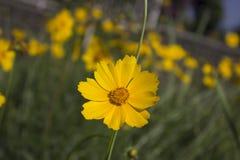 Albero del fiore sopra il fondo della natura Fotografie Stock Libere da Diritti