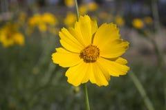 Albero del fiore sopra il fondo della natura Immagini Stock Libere da Diritti