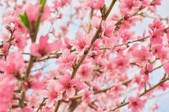 Albero del fiore sopra il fondo della natura Piovuto appena sopra Priorità bassa della sorgente Fotografie Stock Libere da Diritti
