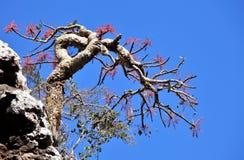 Albero del franchincenso in fiore fotografia stock