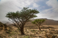 Albero del franchincenso in Salalah fotografie stock