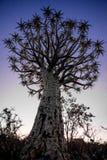 Albero del fremito al tramonto Fotografia Stock Libera da Diritti