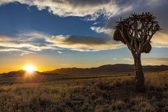 Albero del fremito di tramonto della Namibia Fotografie Stock