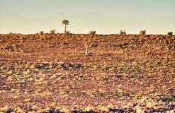 Albero del fremito - Namibia Immagine Stock