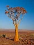 Albero del fremito nel deserto di Namib Immagini Stock