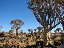 Albero del fremito o foresta di Kokerboom Fotografia Stock Libera da Diritti