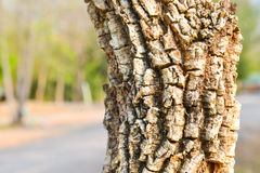 Albero del gambo della corteccia Fotografia Stock