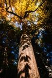 Albero del Ginkgo Fotografia Stock