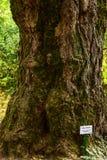 Albero del ginkgo biloba al giardino botanico Fotografia Stock Libera da Diritti