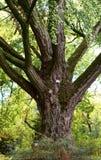 Albero del ginkgo biloba al giardino botanico Immagini Stock