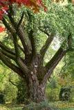 Albero del ginkgo biloba al giardino botanico Immagine Stock Libera da Diritti
